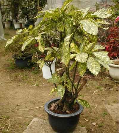 アオキ (植物)の画像 p1_3